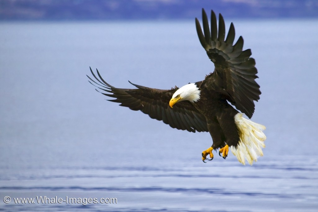 Bald Eagle With Spread Wings  Eagle Wings Spread