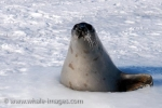 An adult female Harp Seal has found an ice hole where she pops up and places one flipper on the side of the ice in the waters of the Gulf of St. Lawrence in Canada.