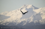 A Bald Eagle soaring near the beautiful snow covered Alaskan mountains in Homer, Alaska, USA.