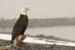 A proud american Eagle waiting till the snow storm is over