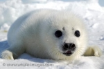 A baby Harp Seal, less than a week old, posing for the camera on the pack ice on the Gulf of St. Lawrence in Canada.