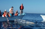 Gray Whale of the Baja California, Mexico - Baja Boats whale watching