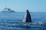 Gray Whale of the Baja California, Mexico - Baja California Travel