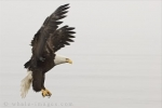An area spotted by this Bald Eagle is where he will pluck his prey from the waters in Homer, Alaska in the USA.