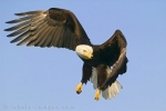 Flying through the blue skies above Homer, Alaska in the USA, this Bald Eagle finds something that catches his eye.