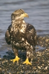 A juvenile Bald Eagle paying close attention to his surroundings in Homer, Alaska in the USA.