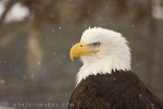 Portrait of a Bald Eagle sitting in snowfall near Homer in Alaska, USA.