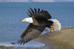 An adult bald eagle takes to the air on a cold winter day in Homer, Alaska.