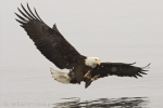 The massive wingspan of a Bald Eagle is widely spread as he prepares for touch down in order to grasp a meal around Homer, Alaska.