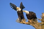 Two bald eagles perched upon a bare tree in Homer, Alaska in the United States.