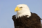 A fascinating American bird of prey is the Bald Headed Eagle found in Homer, Alaska in the USA.