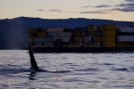 A barge carrying a full load off Northern Vancouver Island in British Columbia, Canada as a lone male Orca passes by.
