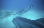 Photos of Bottlenose Dolphins underwater in Red Sea