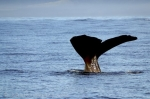 Sperm Whales belong to the family of Cetaceans
