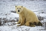 A cute Polar Bear kneels on the blanket of ice and snow on the landscape of the Churchill Wildlife Management Area in Churchill, Manitoba.