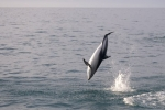 Jumping Dusky Dolphin off the Kaikoura coast on the South island of new Zealand.