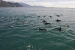 Dusky Dolphins love to spend time surfing in the wake of boats which is what these dolphins just finished doing for a tour with Encounter Kaikoura off the South Island of New Zealand.