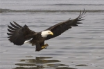 The bald eagles are magnificent animals to watch as they fish for their next meal in Homer, Alaska.