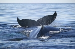 Humpback Whales playing - Endangered Animals