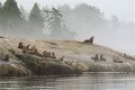 Steller Sea Lions along the coast of British Columbia, Endangered Mammals