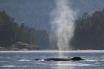 On the Endangered Species List - Humpback Whale