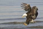 With sharp eyesight a Bald Eagle swoops down to collect its prey while fishing in Homer, Alaska, USA.