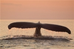 Photograph of a Humpback Whale Tail