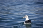 An Albatross rests peacefully on the surface of the water as a dolphin watching tour with Encounter Kaikoura on the South Island of New Zealand passes by.
