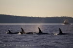A Killer Whale family surfaces as they pass in front of a fishing boat in the waters off Northern Vancouver Island, BC giving the crew a prime viewing location.