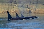 Killer Whale Picture of a resting family pod