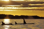 A Killer Whale pod has grouped together at sunset and enjoys some quiet time while resting on the surface of the water off Northern Vancouver Island in British Columbia, Canada.