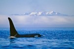 Landscape Pictures with a male Orca Whale