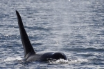 Large male Orca Whale off the coast of Northern Vancouver Island in British Columbia