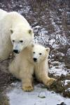 A polar bear mom and her baby sitting in the arctic tundra near Churchill in Manitoba, Canada.
