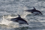 Dolphins speeding, no need for speed