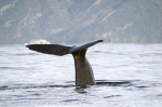 New Zealand Animals, Sperm Whales, Kaikoura, New Zealand