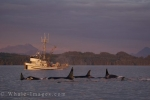 As a commercial fisherman heads home in the sunset lighting after a long day off Northern Vancouver Island, a pod of Killer Whales belonging to the Northern Residents surfaces close by.