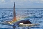 Orca whale with Rainbow in the pacific ocean - Ocean Animals