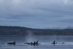 Offshore Killer Whale sightings are rare close to shore
