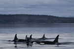 Offshore Killer Whales are rarely seen along the coastline off Northern Vancouver Island, British Columbia.