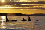 A family of orca swim peacefully through the waters off Northern Vancouver Island in British Columbia, Canada as the sun begins to set.