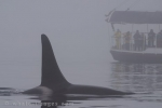 Whale watching in thick fog around Vancouver Island in British Columbia, Canada can be extremely challenging when trying to locate Orca.