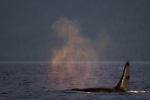 A male Orca travels through the waters off Northern Vancouver Island in British Columbia, Canada at sunset.