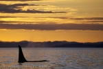 A northern resident male Orca Whale swims peacefully at sunset through Weynton Passage in British Columbia.