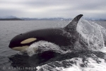 An Orca whale gives us a great photo opportunity off Northern Vancouver Island in British Columbia, Canada.