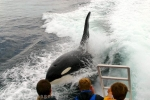 Large male Orca Whale surfing beside a whale watching vessel