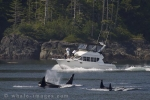 A pleasure craft does a little whale watching as they view a family of Orca off Vancouver Island in British Columbia in Canada.