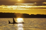 Another day ends at sunset for boaters off Northern Vancouver Island, British Columbia and two Orca Whales take advantage of the peacefulness by resting in the sunset lighting.