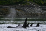 Northern resident Orca Whales off the coast of Northern Vancouver Island in British Columbia.