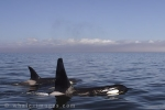 A male and a female Orca Whale traveling together in Queen Charlotte Sound in British Columbia.